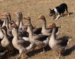 dressage avec les chiens de berger